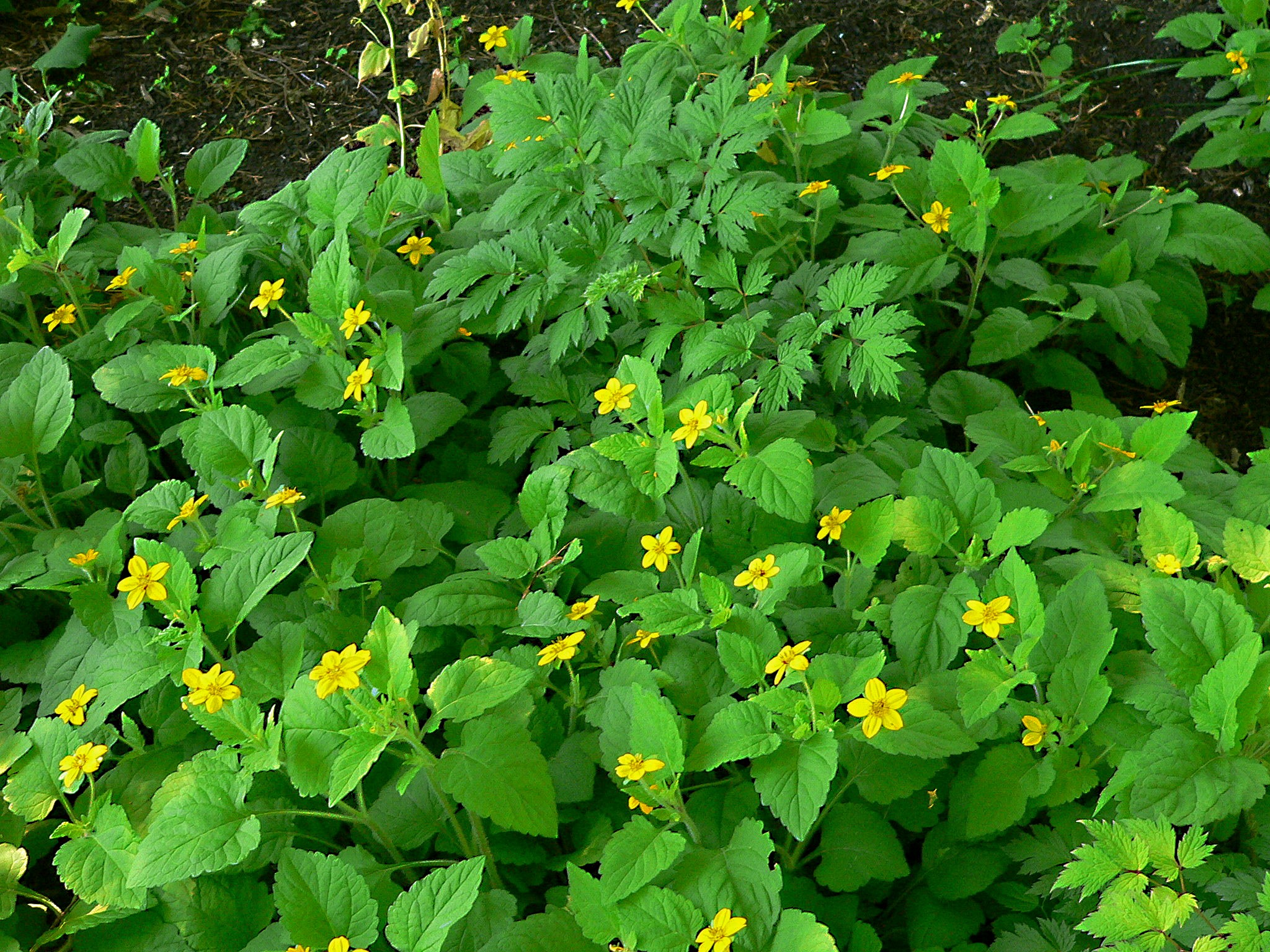 Flowers that like sun and moist soil - A Woodland Situation Is A Good Place To Grow This Plant Along With Foam Flower Bugbane And Ferns During Times Of Drought Particularly The First Couple Of