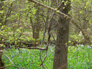 Large patch of Bluebells