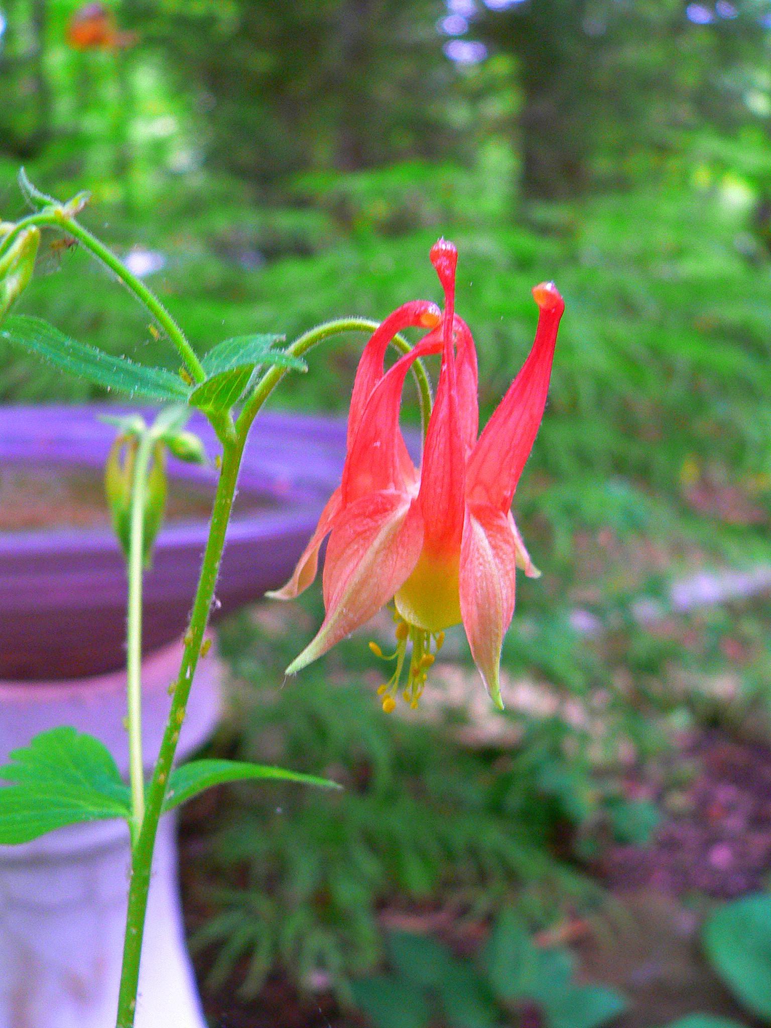 2014 plant sale profile archives jefferson aquilegia canadensis izmirmasajfo