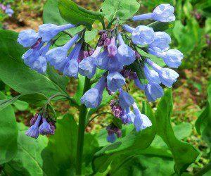 Bluebell, (Mertensia virginica)