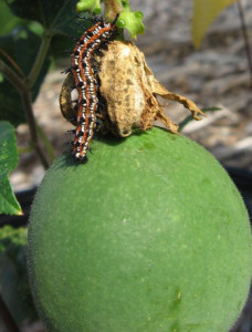 Fritillary Caterpillar on Passionflower Fruit (Passiflora incarnata). By Jan Newton.