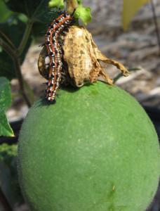 Fritillary Caterpillar on Passionflower Fruit (Passiflora incarnata). By Jan Newton.