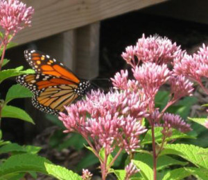 Monarch Butterfly on Joe-Pye Weed (Eupatorium fistulosum). By Jan Newton.