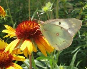 Butterfly on Blanket Flower - Photo by Jan Newton