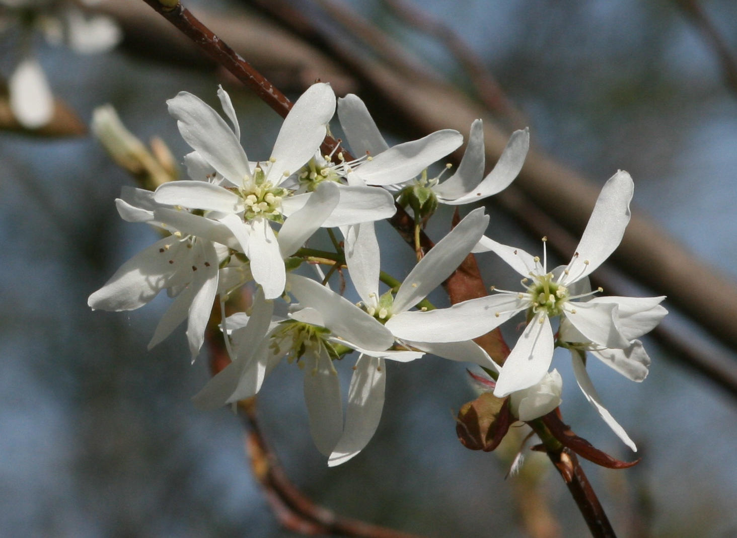 Shadbush March 2015 Wildflower Of The Month John Clayton