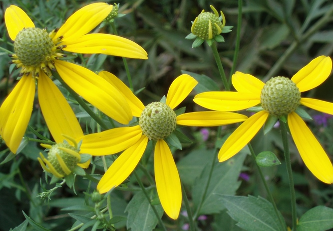 Cutleaf coneflower october 2016 wildflower of the month john clayton a valuable addition to the wild garden green headed coneflower typically grows 5 8 feet tall with bright yellow flowers that can be five inches across mightylinksfo