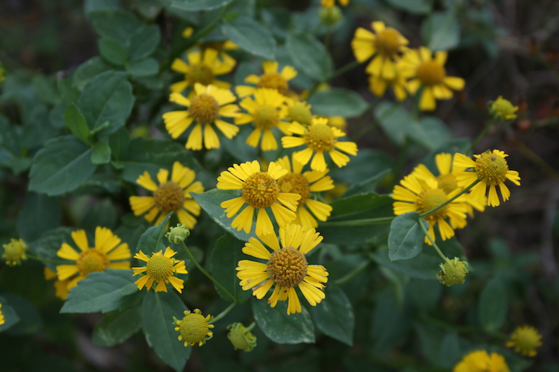 Common sneezeweed november 2016 wildflower of the month john clayton yellow centers of this late summer perennial helenium autumnale the common name is misleadingthe plant isnt a weed and it doesnt cause sneezing mightylinksfo