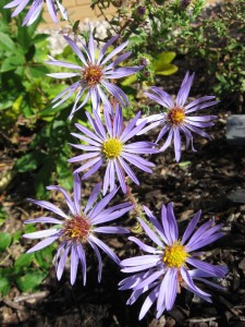 large-flowered-aster-jan-newton