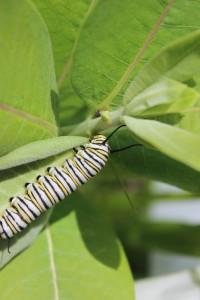 monarch cat in field