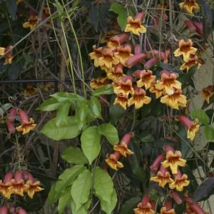 Crossvine Bignonia capreolata Wildflower of the Month June 2018