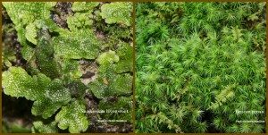 Liverwort and Broom moss for plant walk notice ed.
