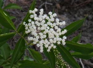 sambuscus canadensis helen wildflower