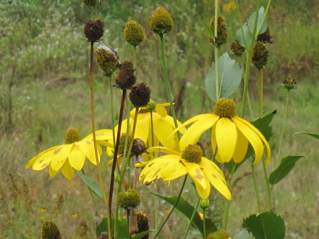 Rudbeckia fulgida, commonly known as Black-eyed susan and orange coneflower