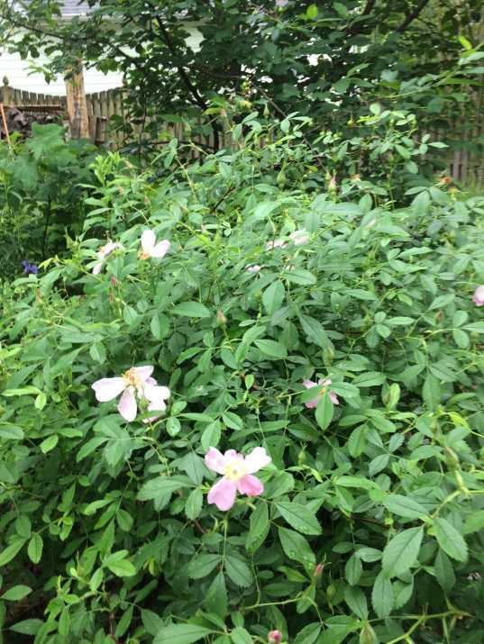 Pasture rose or Carolina rose (Rosa carolina)