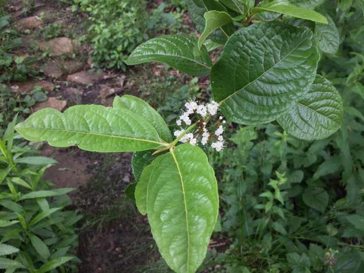Smooth withered or Possumhaw viburnum (Viburnum nudum)