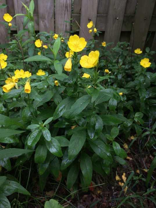 Sundrops (Oenothera fruticose)