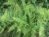 New York Fern (Thelypteris noveboracensis)