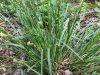 Blue sedge (Carex glaucodea Tuckerman ex Olney; C. flaccosperma, in part)
