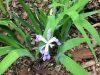 Crested iris (Iris cristata)