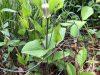 Curleyheads (Clematis ochroleuca)