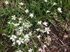 Field chickweed (Cerastium velutinum)