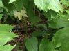 May Apple (Podophyllum peltatum)