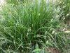 (Probably) Common Fox Sedge (Carex vulpinoidea)