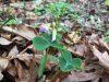 Violet woodsorrel (Oxalis violacea)