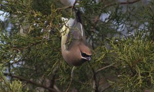 Cedar waxwing eating red cedar berries at Dyke Marsh in winter by Ed Eder