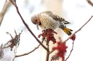Northern flicker at Dyke Marsh January 2013 by Ed Eder