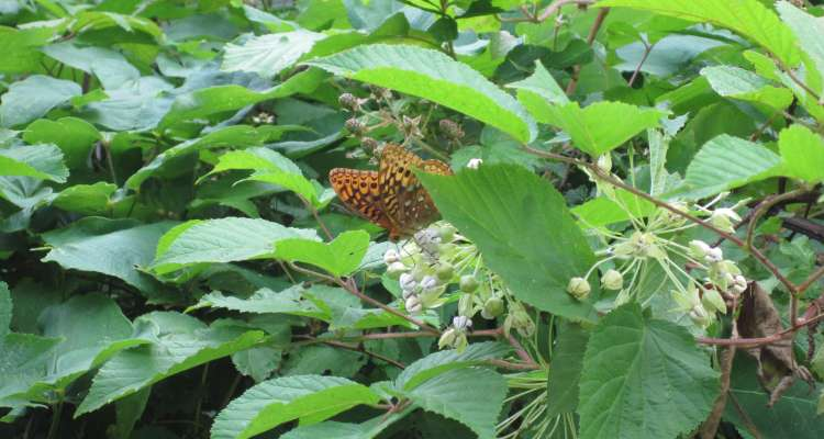 Great Spangled Fritillary on Poke Milkweed by Margaret Chatham