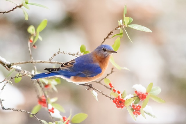 Bluebird - Photo by Debra Foster from Pixabay