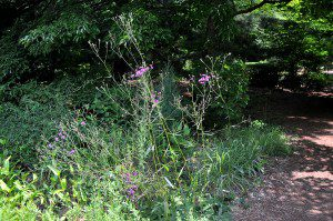Vernonia acaulis