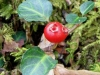 partridgeberry_r-stromberg_300dpi