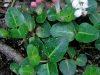 partridgeberrybuds_r-stromberg_300dpi