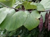 cercis_canadensis_fruits_ur_01s-1