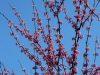redbud-blue-sky-1