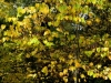 redbud-in-fall-1