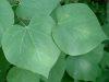 redbud-leaf-1