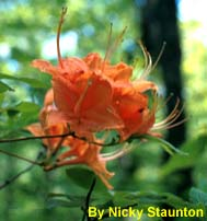 flame azalea photo