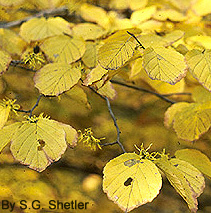 2002 Witch Hazel Hamamelis Virginiana Virginia Native Plant