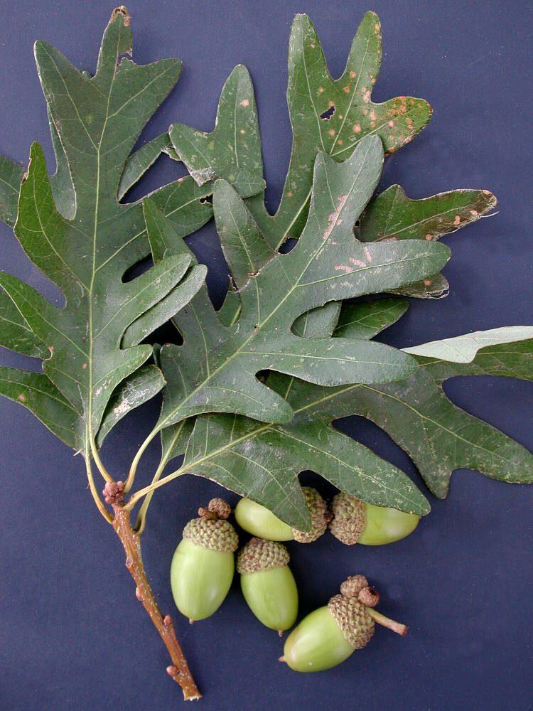 2011 White Oak Quercus Alba Virginia Native Plant Society