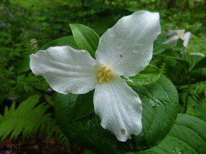 Trillium grandifolium
