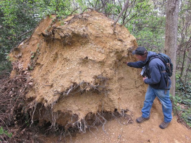 Fig. 2. Geologist Tony Fleming examining Potomac Formation soils exposed at the base of a tree blow down at Monticello Park, City of Alexandria, Virginia. Photo by R.H. Simmons.