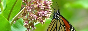 Asclepias incarnata with Monarch butterfly