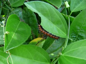Gulf fritillary caterpillar feeds on Passiflora inacarntata