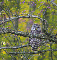 Barred_Owl_credit_Alison_Sloop_200x