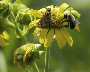 skipper and bee, diggers don't have pollen basket