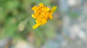 Hypochaeris Radicata, hairy or cat's ears dandelion
