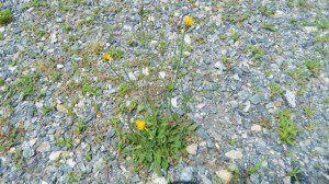 false dandelion is found along roadsides and in disturbed areas